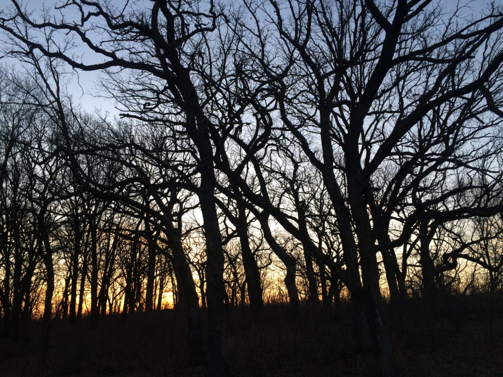 Oak tress provide a nice habitat for eastern wild turkeys and a place to roost